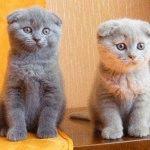 Розплідник Шотландських висловухих котів «SOLAR WIND»