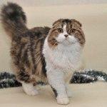 Розплідник Шотландських висловухих котів «TigerSun»