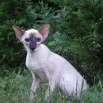Розплідник сіамських котів «D`Aranid»