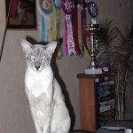 Розплідник сіамських котів «Maaw»
