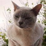 Фото бурманських котів
