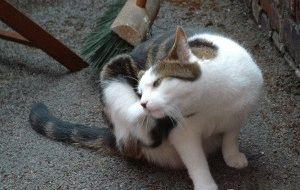 Вушний кліщ у кота симптоми та лікування
