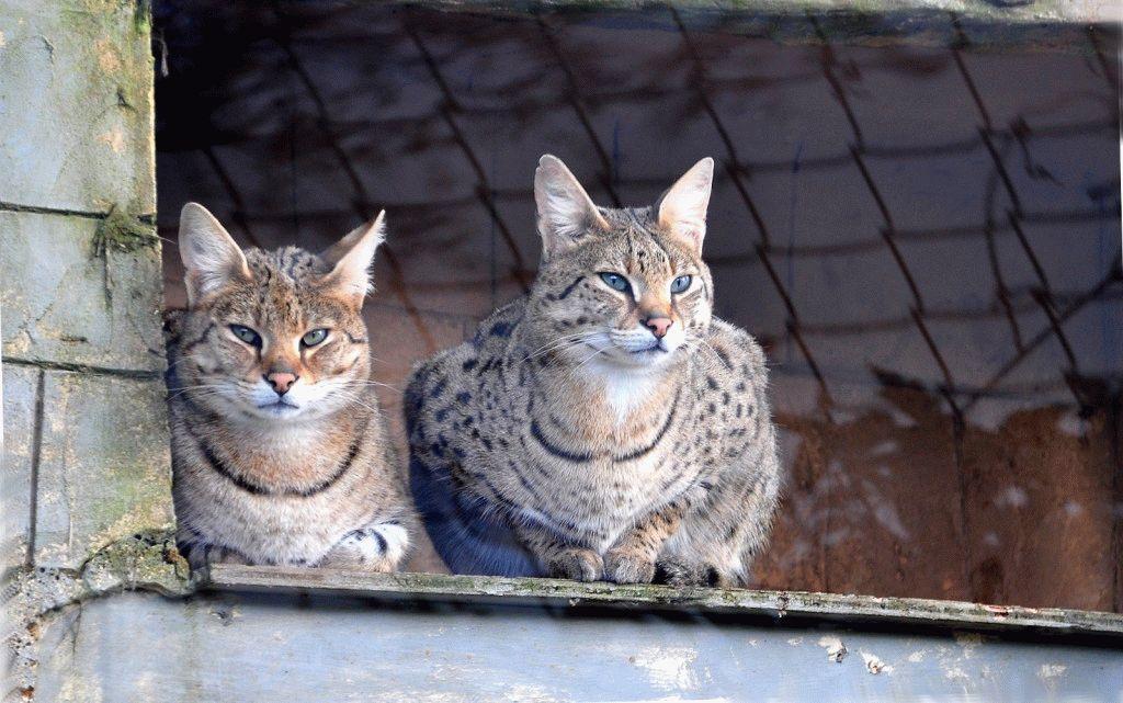 Коти породи Саванна