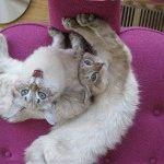 Коти породи американський бобтейл фото