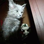 Кошеня нібелунг фото