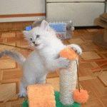 Кошеня породи Невська маскарадна фото