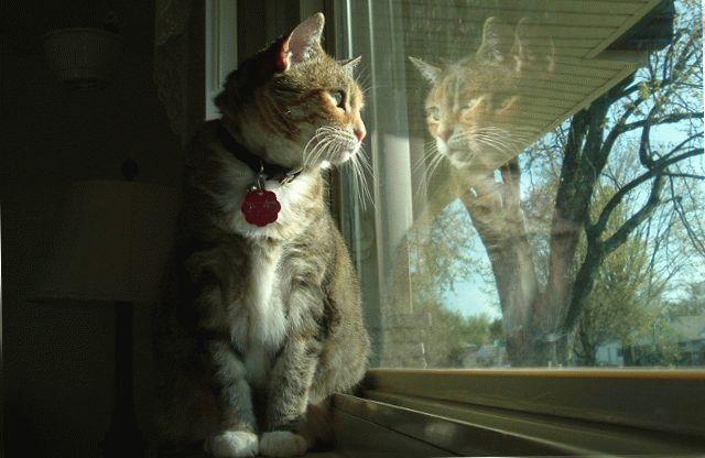 Кіт американський бобтейл фото