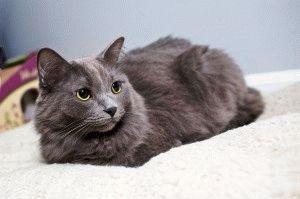 Кішка породи Нібелунг фото