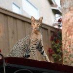 Кішка породи Саванна фото
