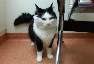 Лікування циститу у котів