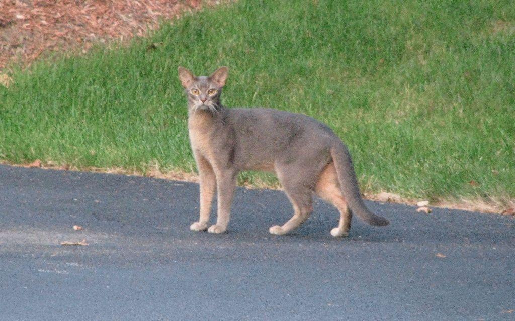 Найбільший кіт породи Чаузі
