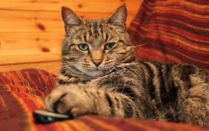 Найрозумніша порода котів