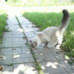 Невська маскарадна кішка фото