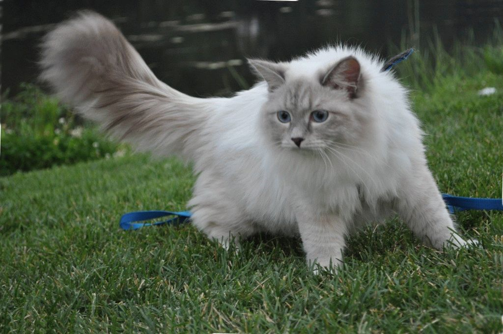 Невська маскарадна кішка