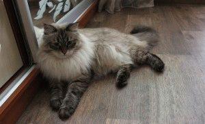 Невський маскарадний кіт фото