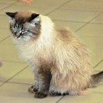 Невський маскарадний кіт