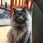 Нібелунг ціна кота