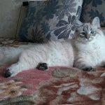 Порода котів Невська маскарадна