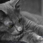 Порода котів Нібелунг фото