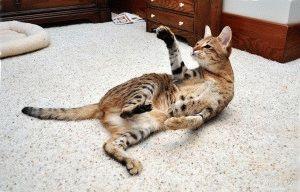 Порода котів Саванна фото