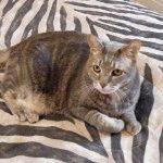 Порода котів американський бобтейл