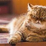 Породи котів зі сплющеним обличчя фото 2