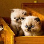 Породи котів зі сплющеним обличчя фото 3