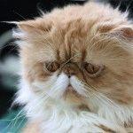Породи котів зі сплющеним обличчя фото 4