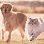 Породи котів зі сплющеним обличчя фото 5