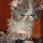 Породи котів зі сплющеним обличчя фото 6