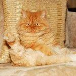 Породи котів зі сплющеним обличчя фото 7