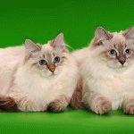 Розплідник котів породи Невська маскарадна «Легенда снігів»