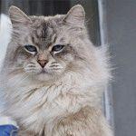 Розплідник котів породи Невська маскарадна «Сапфір Сибіру»