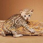 Розплідник котів породи Саванна «ЕлітКіт»