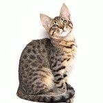 Розплідник котів породи Саванна «Luxury Cats»
