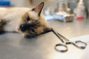 Стерилізація кішки