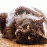 Фото кота Нібелунг