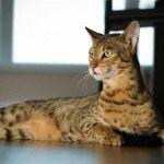 Фото кішки Саванна
