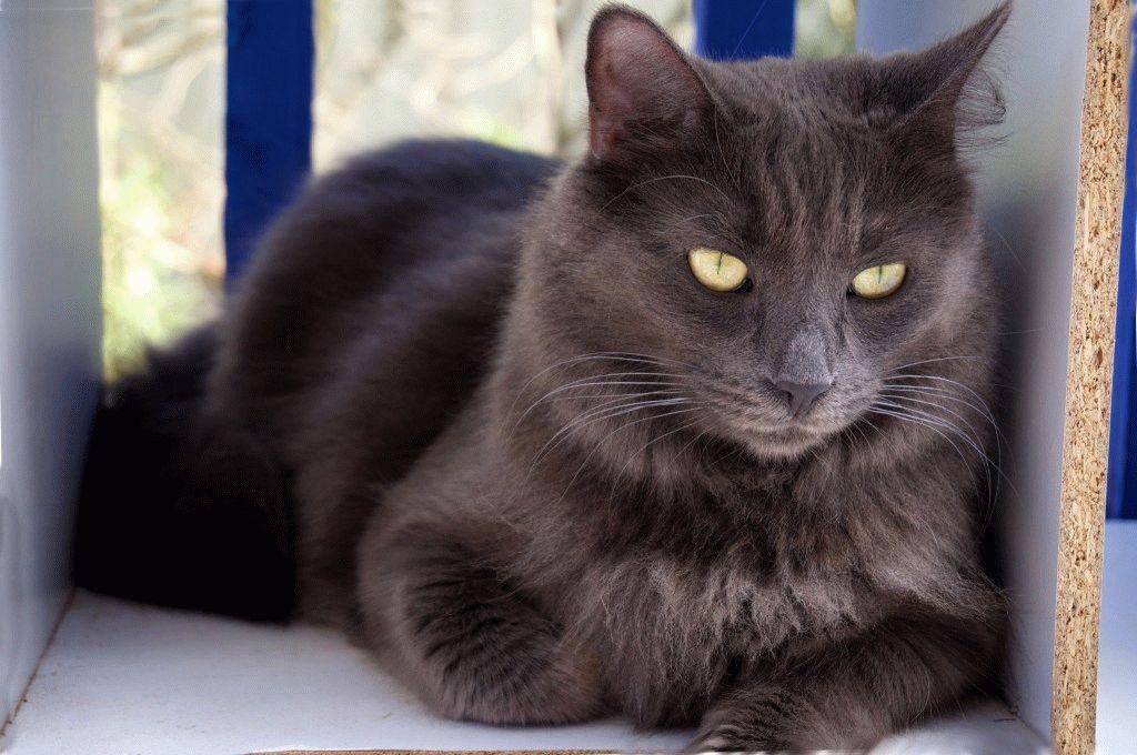 Характер котів Нібелунг