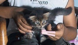 як чистити зуби коту