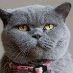 Британська глуба кішка фото
