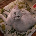 Британська короткошерста кішка шиншила фото
