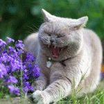 Британська кішка голубого забарвлення фото