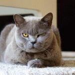 Британська кішка голубого кольору фото