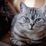 Британська кішка фото