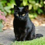 Британська кішка чорного кольору фото