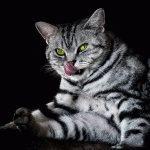 Британська мармурова кішка фото