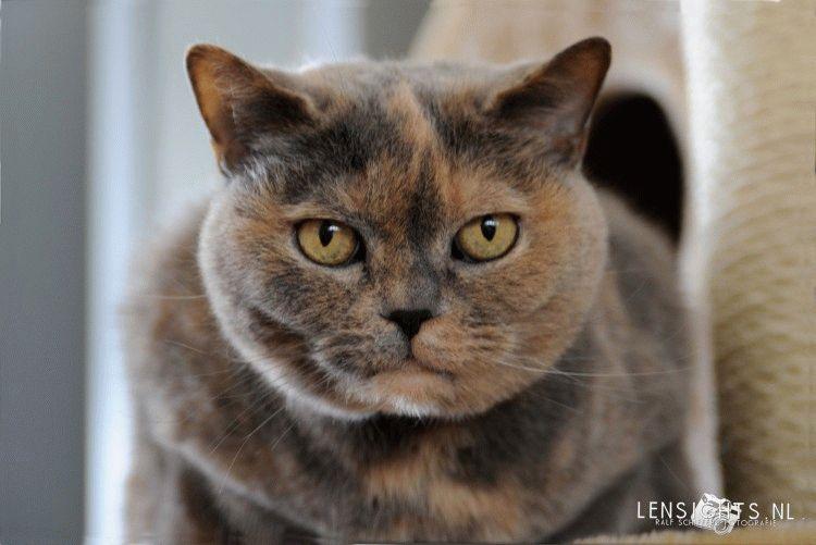 Британська черепахова кішка фото
