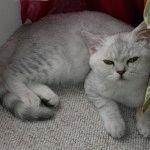 Британська шиншила кішка фото