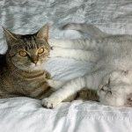 Британська шиншила фото кішки